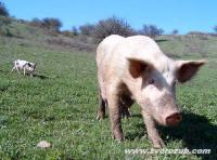 отгонное свиноводство к югу от Симферополя