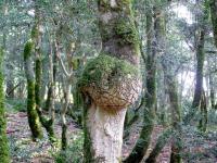 самшитовое дерево с наростом