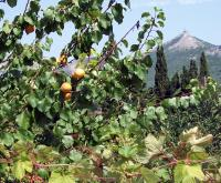 абрикосы в долине Отуз (Щебетовка) июль