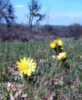 горицвет весенний (адонис верналис)