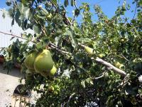 груша Фердинанд (Бере Арданпон), Крым, Алушта