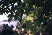Инжир самосейка на каменистом склоне над Чеховской бухтой в Гурзуфе