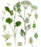 растение Анис обыкновенный рода Бедренец семейства Зонтичные