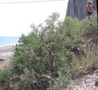 Селитрянка Шобера, Лисья бухта, 2007 год, сейчас уничтожена