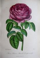 """роза """"Князь Василий Долгоруков"""