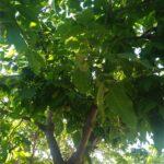 Грецкий орех в Крыму принято высаживать на улице, поскольку ему надо около 100 квадратных метров. А зато он отгоняет своим йодистым запахом мух и прочиъ насекомых
