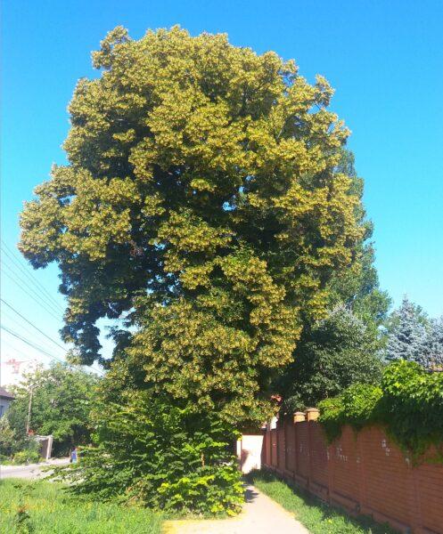 Липа самосевка в Луговском гетто Симферополя. Роскошное дерево.